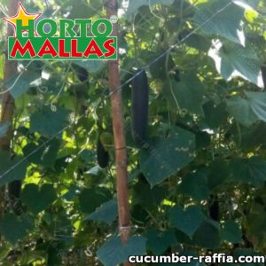 Cucumber raffia supporting cucumber plants