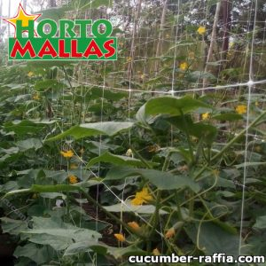 Cucumber Spacing for Trellis