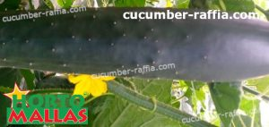 cucumber plant using support net